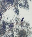 Black cockatoos near the homestead